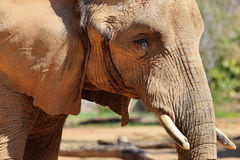 Elephant. An elephant close up shot of head, ears, eyes, tusks royalty free stock photo