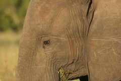 Elephant close-up. The elephant was in the Reserve. He was eating fresh grass Royalty Free Stock Photos