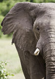 Elephant. Close up of a Wild African Elephant Royalty Free Stock Photos