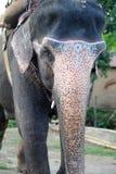 Elephant closeup Royalty Free Stock Images