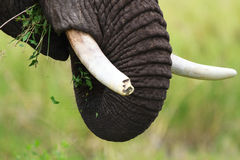 Elephant closeup Royalty Free Stock Image
