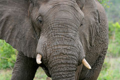Elephant Closeup. Closeup of an elephant face at Kruger Park in South Africa Stock Images