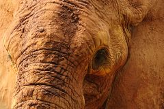 Elephant Closeup Stock Photography