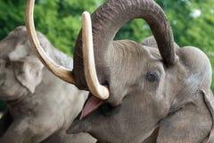 Elephant closeup. Asian or Indian elephant closeup royalty free stock photography