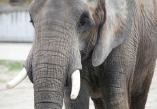 Elephant closeup Royalty Free Stock Photo