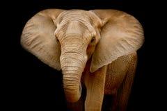 Elephant. Closeup Elephant animal wildlife black color backgrounder stock photography
