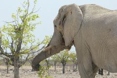 Elephant closeup eating fresh leaves, Namibia Stock Photography