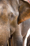Elephant Closeup Half Face Royalty Free Stock Image