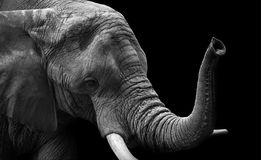 Elephant closeup Low Key monochrome portrait Stock Photo