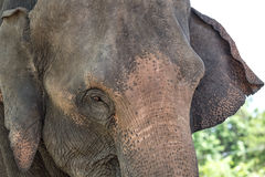 Elephant. Closeup picture of an elephant royalty free stock photography
