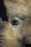 Elephant closeup portrait of eye and face Royalty Free Stock Photography