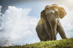 Elephant. With clouds in the background Stock Photos
