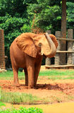 Elephant  coated with red dry mud Royalty Free Stock Photos
