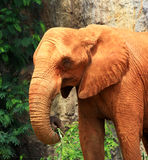 Elephant  coated with red dry mud Stock Photography