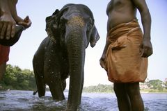 Elephant coming out after bath, Royalty Free Stock Photography