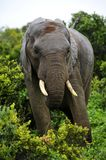 Elephant coming out of bush Royalty Free Stock Photography
