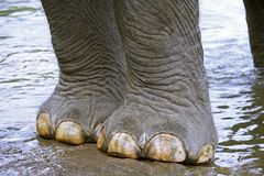 Elephant coming out of river Stock Photos