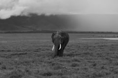 Elephant in black and white coming towards you royalty free stock images