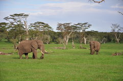 Elephant companions. Two African elephant bulls grazing on a game preserve in Kenya Stock Image