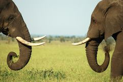 Elephant Confrontation. Two elephants with tusks sizing up each other in Kruger National Park Royalty Free Stock Photo