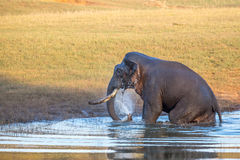 Elephant cooling off  in Forest Royalty Free Stock Photography