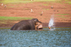 Elephant cooling off  in river Stock Photo