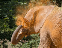 Elephant cooling off with sand. Stock Image