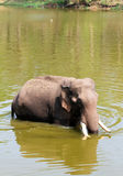 Elephant cooling off in the Summer heat Stock Image