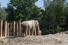 Elephant in Copenhagen Zoo. Elephant in captivity in Copenhagen Zoo, Denmark royalty free stock photography