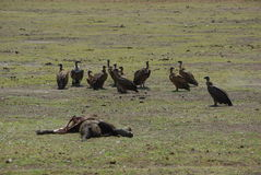 Elephant corpse with vultures Stock Image