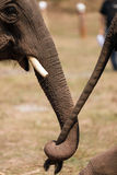 Elephant couple Royalty Free Stock Images