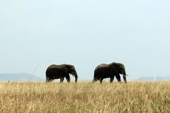 Elephant Couple Stock Image