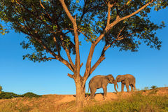 Elephant. Couple Elphant under the tree Stock Images