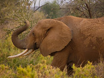 Elephant covered with dry mud eating thorny acacia branches Royalty Free Stock Image