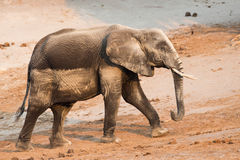 Elephant covered in mineral sand Royalty Free Stock Photos