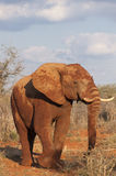Elephant covered in red dirt Royalty Free Stock Images