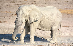 Elephant covered in white mud Stock Images