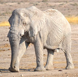 Elephant covered in white mud Stock Image