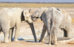 Elephant covered in white mud Royalty Free Stock Images