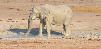 Elephant covered in white mud Royalty Free Stock Photo