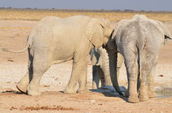 Elephant covered in white mud Stock Photo