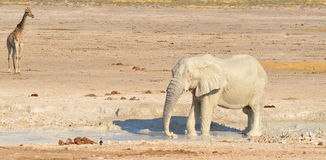 Elephant covered in white mud Royalty Free Stock Photos