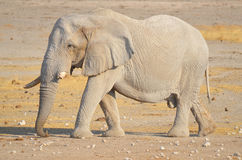 Elephant covered in white mud. View of an elephant covered in white mud Etosha National Park Namibia Africa. Etosha's elephants number about 2500 and royalty free stock images