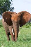 Elephant cow. An elephant cow flapping her ears Stock Photo