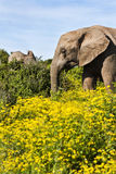 Elephant Cow royalty free stock photography