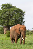 Elephant Cow Royalty Free Stock Image