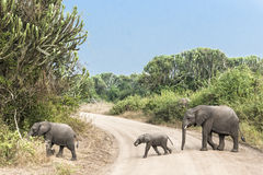 Baby elephant crossing road Stock Photos