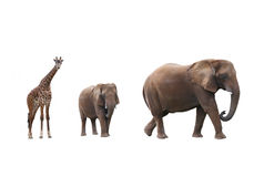 Elephant cow with baby elephant and giraffes. On white background Royalty Free Stock Images