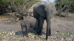 Elephant cow, baby elephant hiding from the tourists in the African savannah Stock Photo