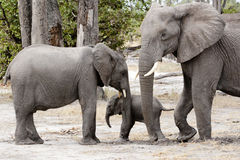 Elephant mother protecting baby elephant, Botswana, Africa. Baby shelter by brother and mother